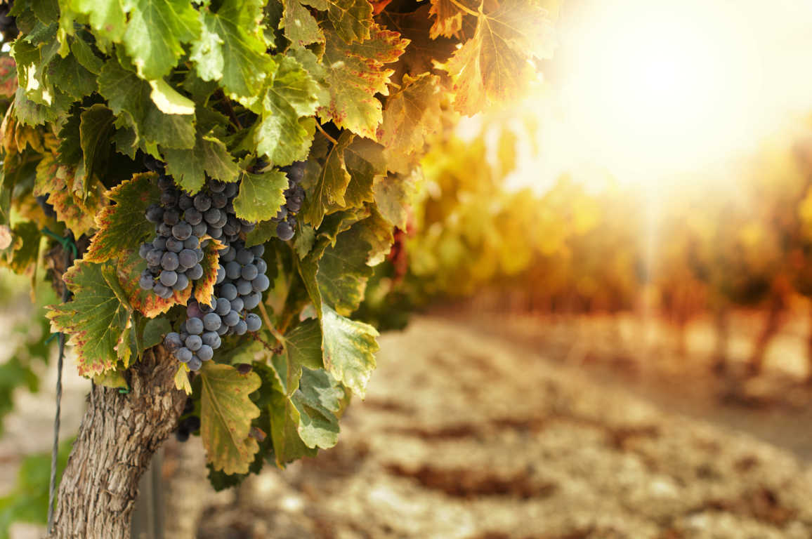 La venta de plantas y cepas de vid pone la originalidad en el sector vinícola español