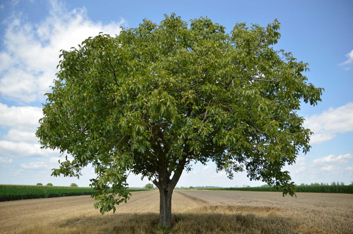 Juglans regia o nogal común, la madera más valorada